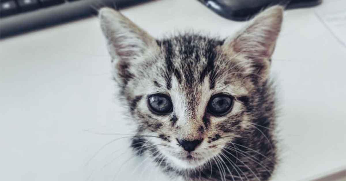 gigio, il gatto grigio
