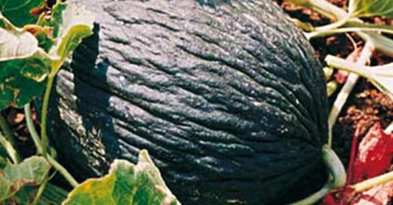 melone purceddu IGP