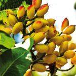 pistacchio di bronte sulla pianta